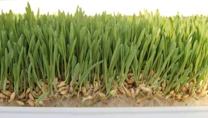 Green fodder - Barley