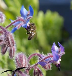 Borragem e as abelhas II