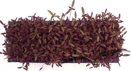 Microvegetais em vaso- Amaranto